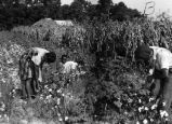 Children picking cotton.