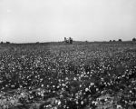Cotton field with cotton picker.