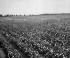 Cotton field.