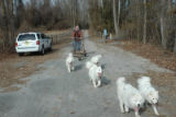 Man with dog sled team