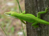 Green anole lizard on a tree